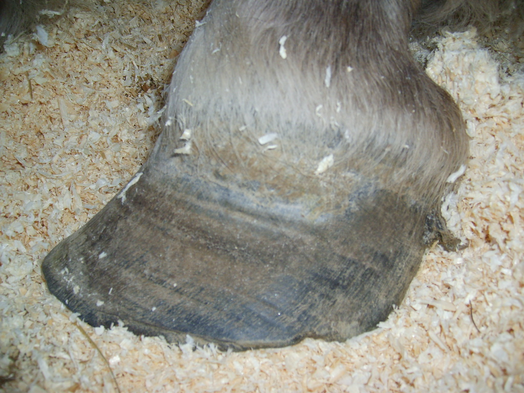 Front hoof before trim