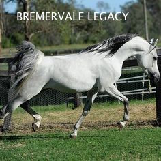 1. SIRE Bremervale Legacy a